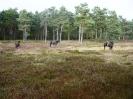 Exmoor Ponys am Rundwanderweg_1