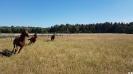 Senner Pferd_3
