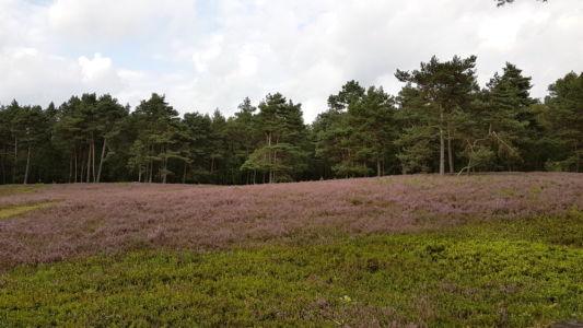 Bluehende Heide  2 20170820 1538051876