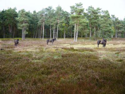 Exmoor Ponys Am Rundwanderweg 1 20160425 1780324402