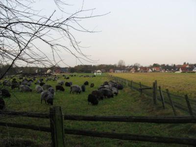 Heidschnucken 20120327 2064979514