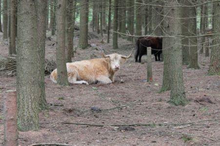 Schottischen Hochlandrinder Wistinghauser Senne 20120923 1553464239